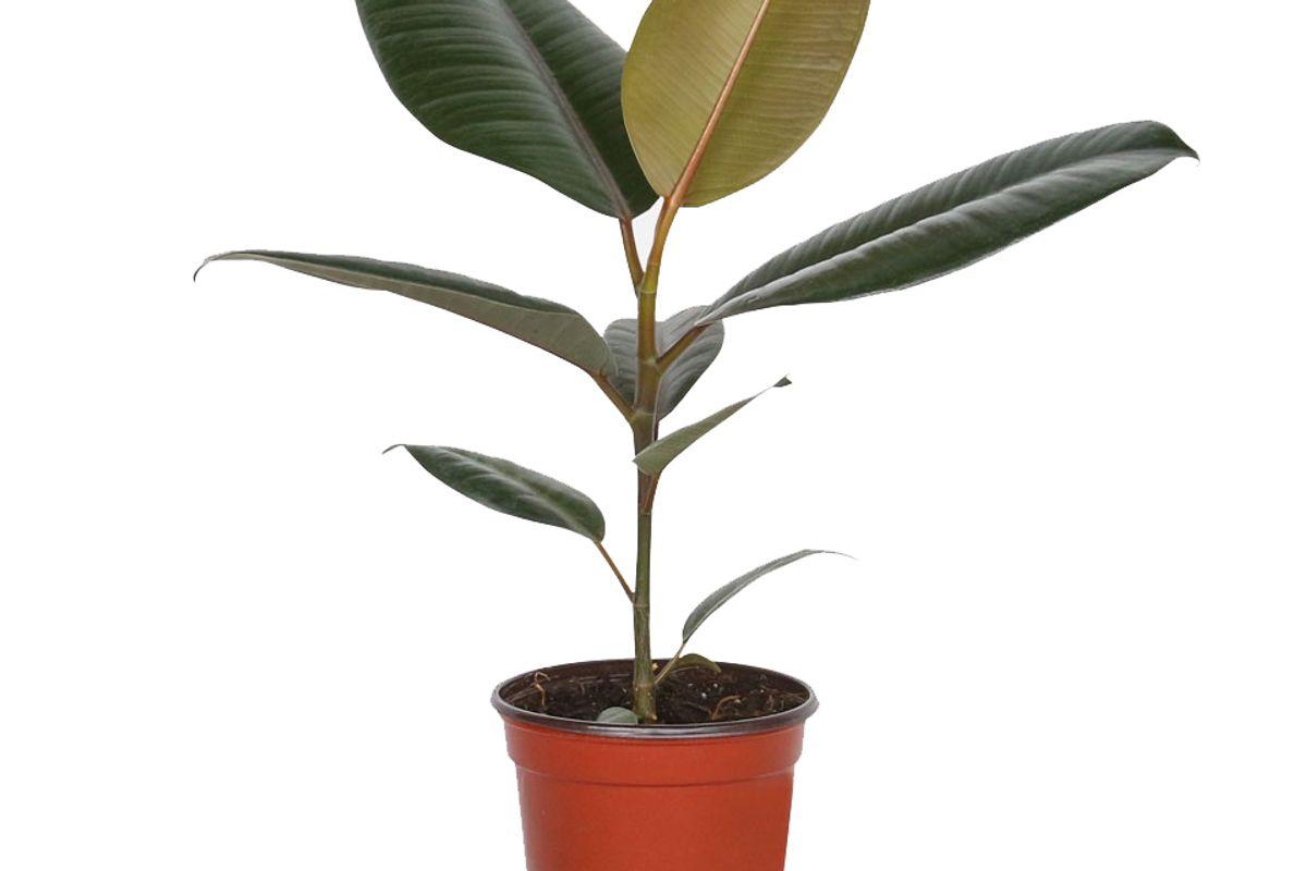 plantshed piccolo rubber tree plant