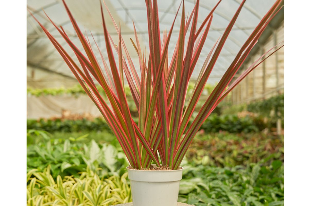 rooted barb colorama dragon tree