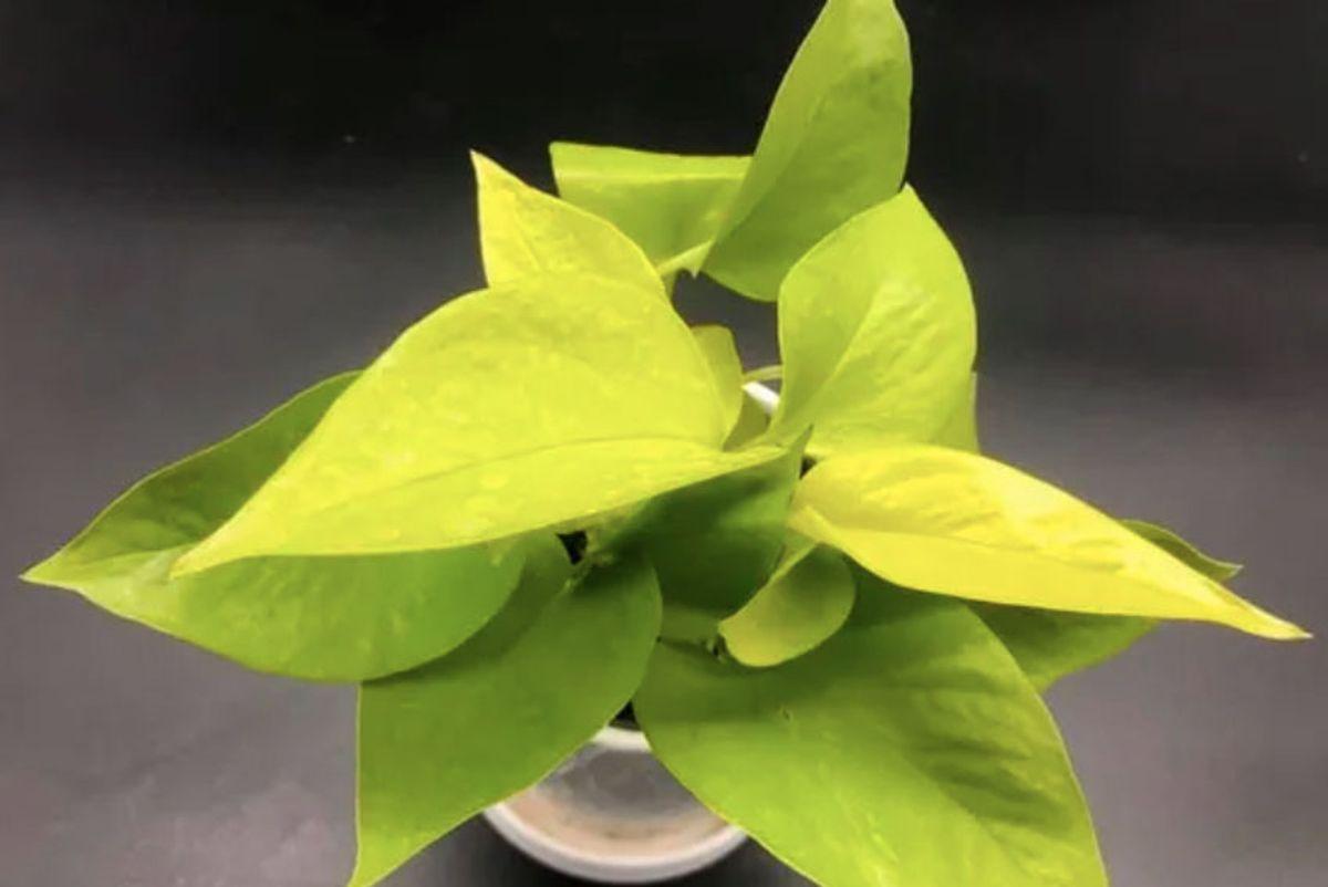 my crazy plant life lemon lime pothos