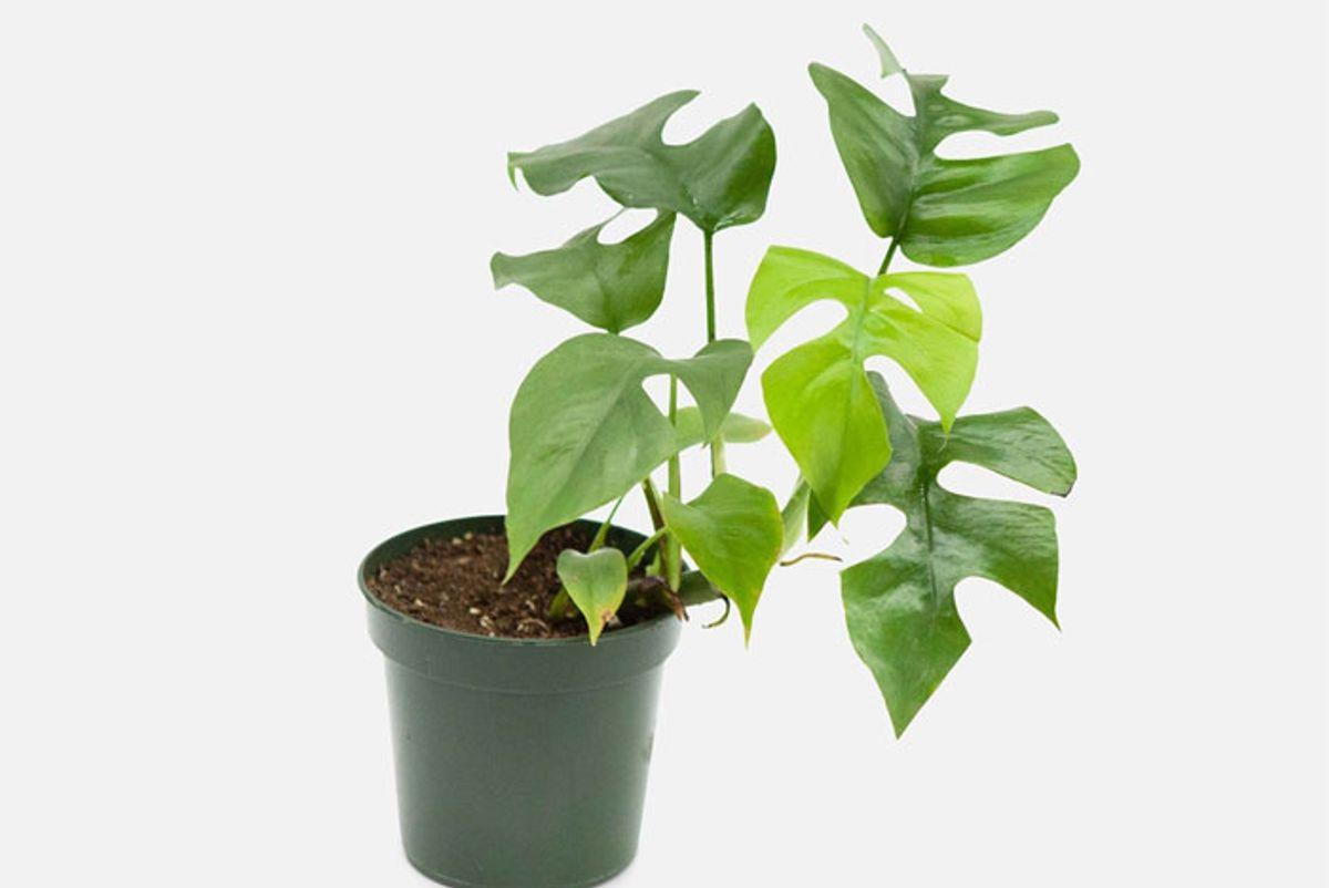 plantshed monstera ginny piccolo