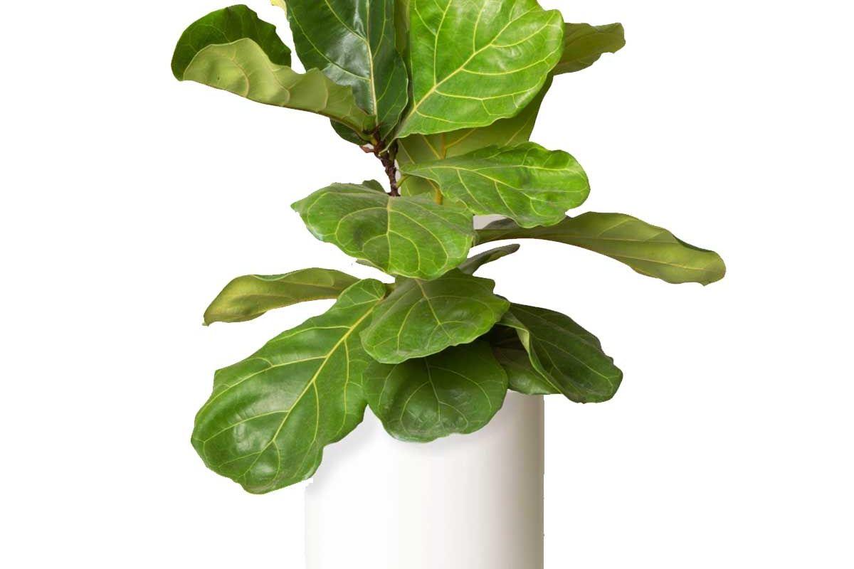 the sill large fiddle leaf fig bush