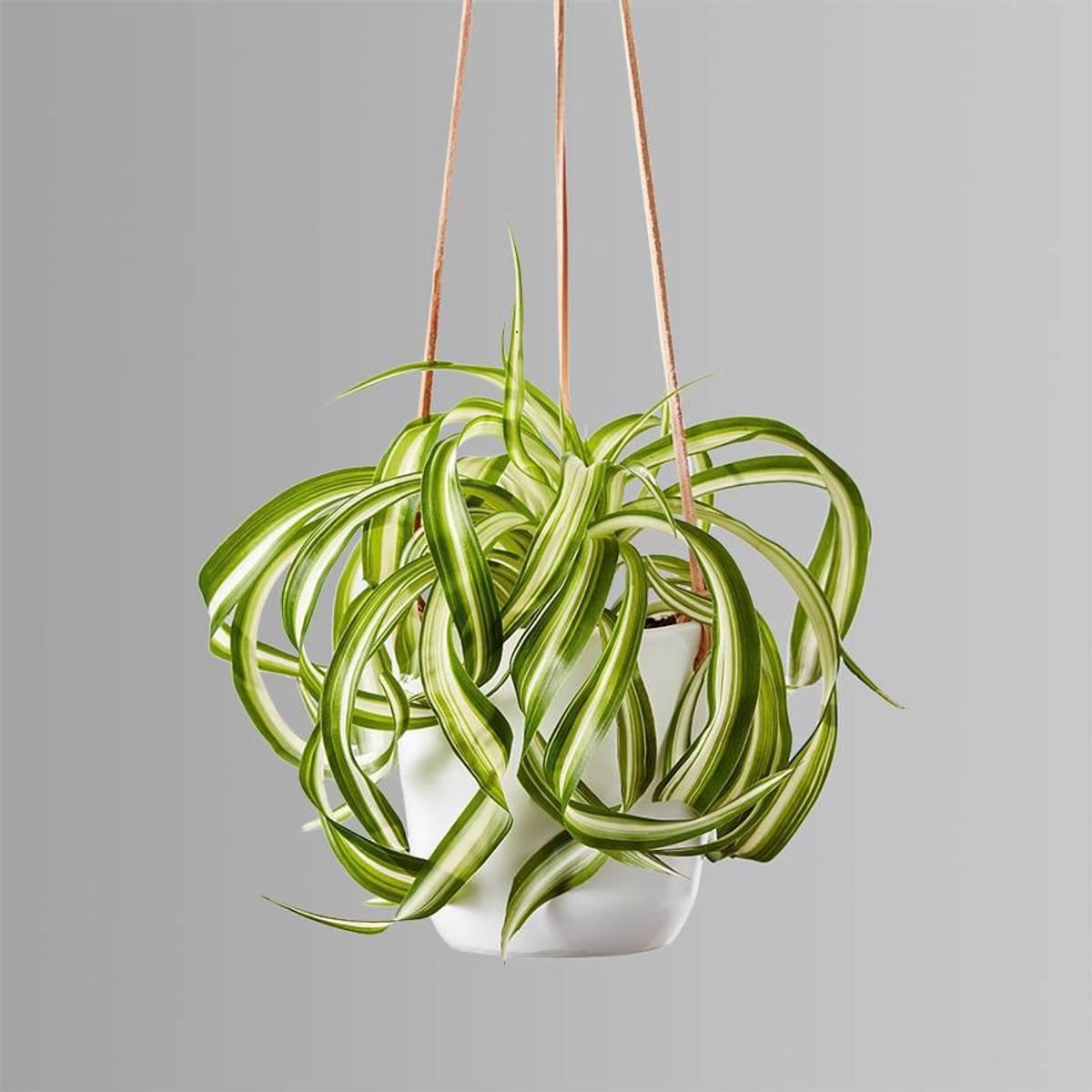 plants dot com spider plant