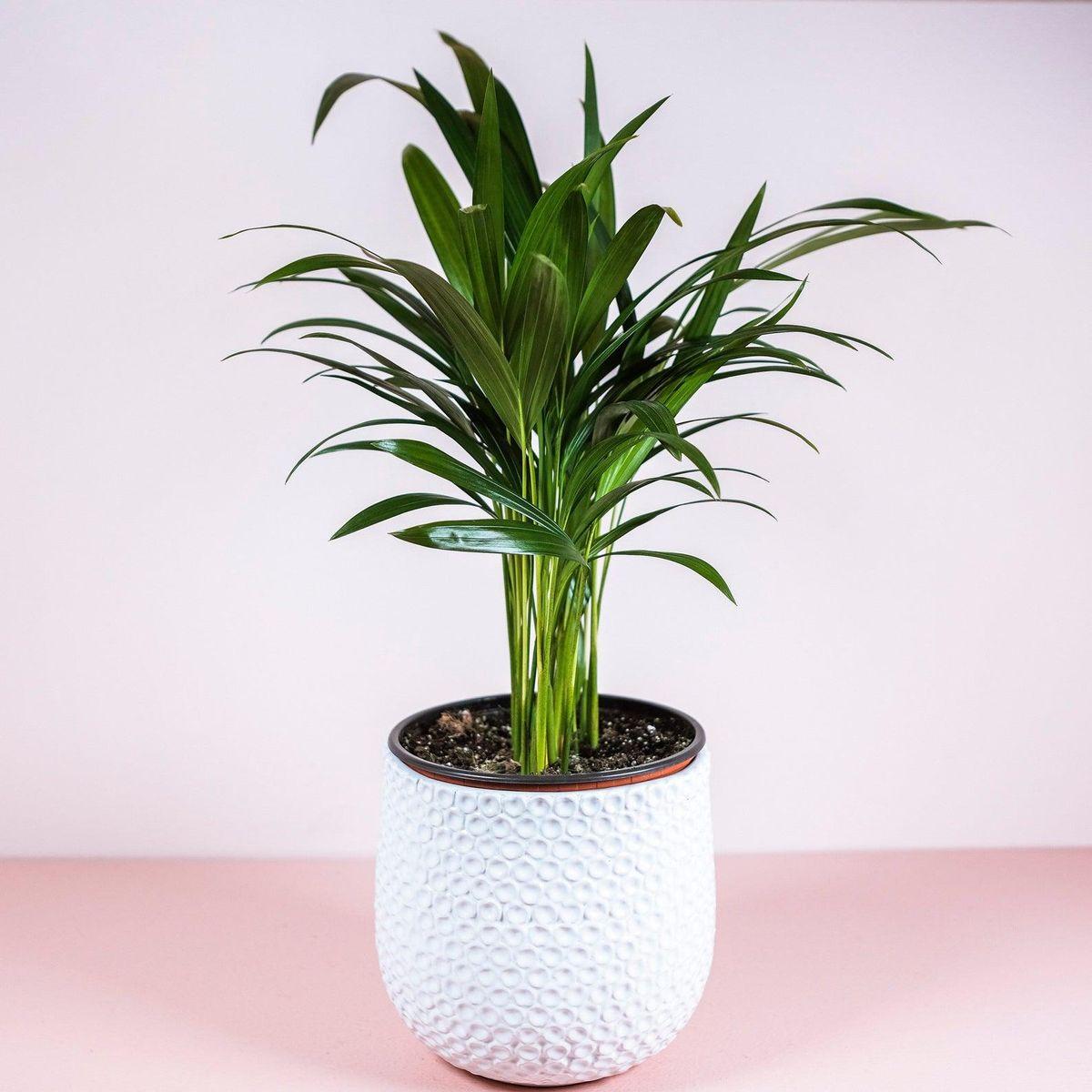fern plant shop areca palm