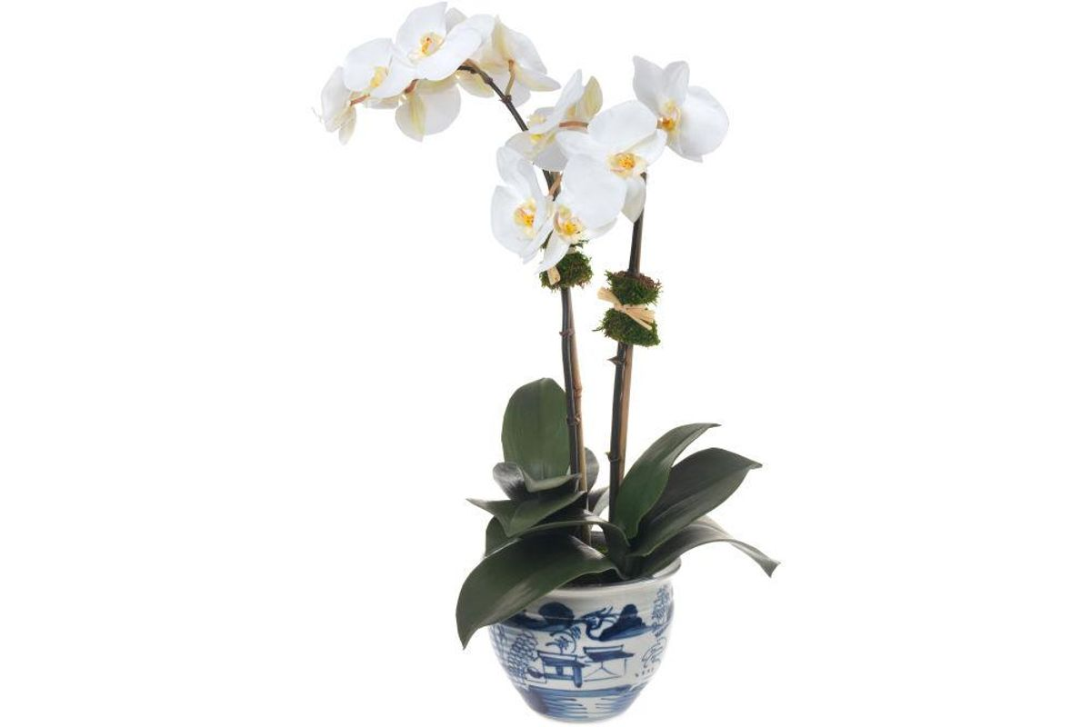 x Diane James Double White Orchid