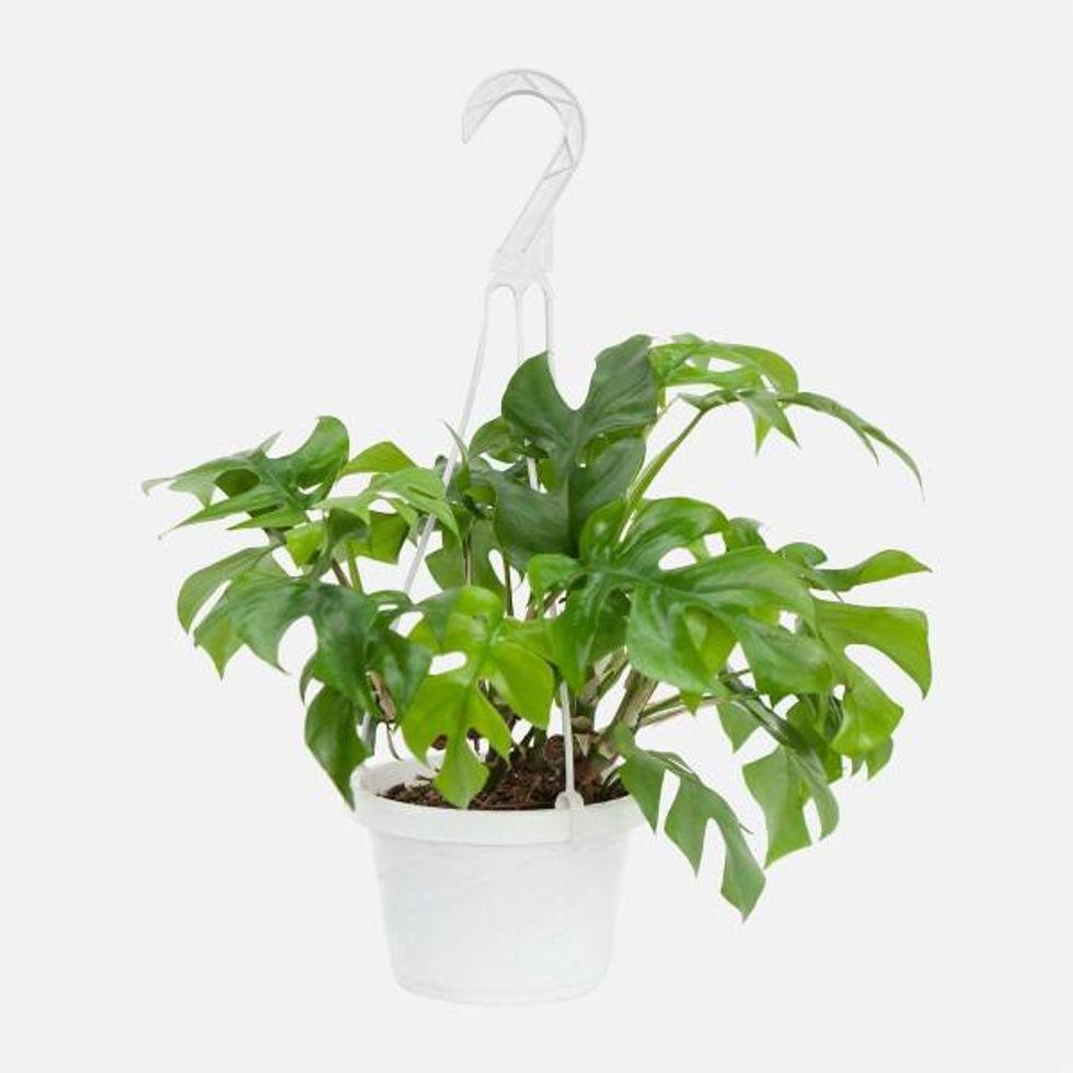 plantshed hanging monstera ginny