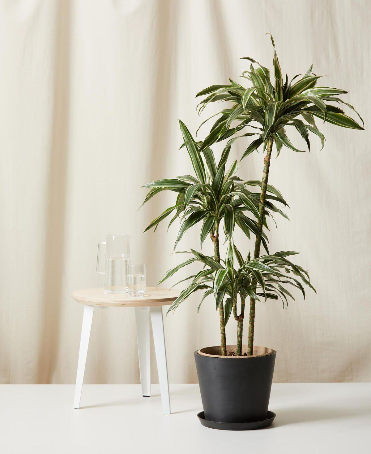 bloomscape dracaena warneckii