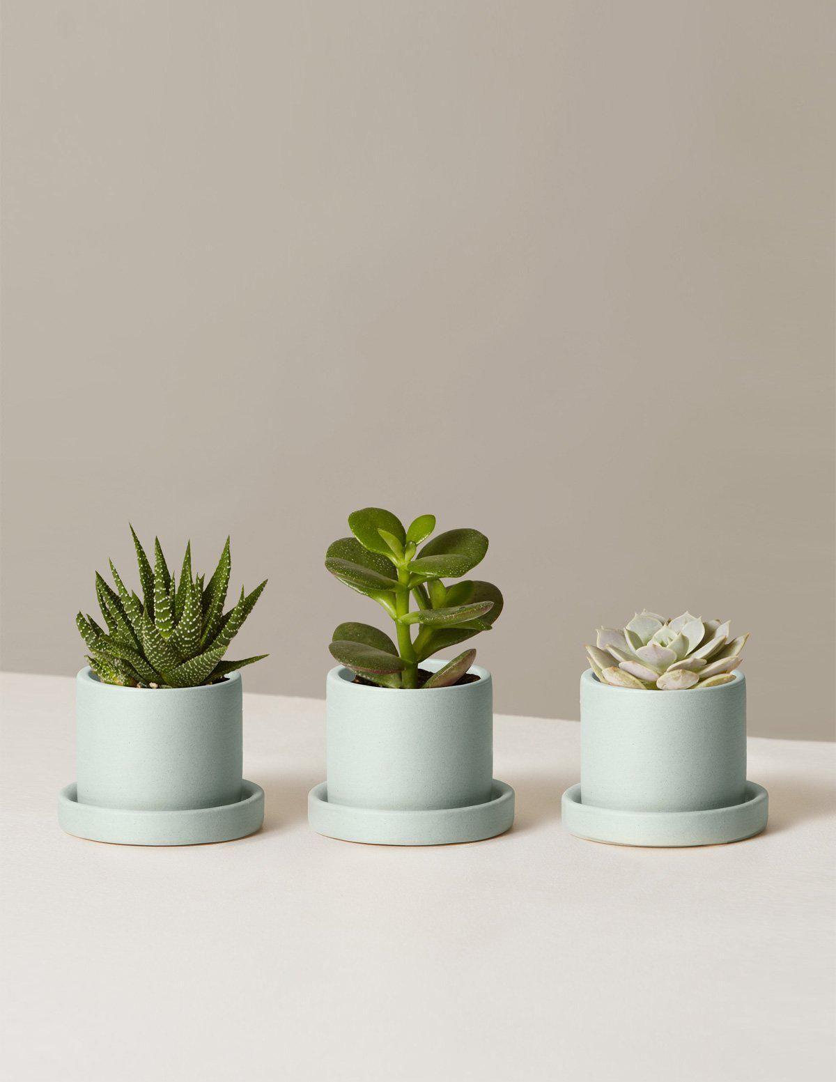 Potted Succulent Trio