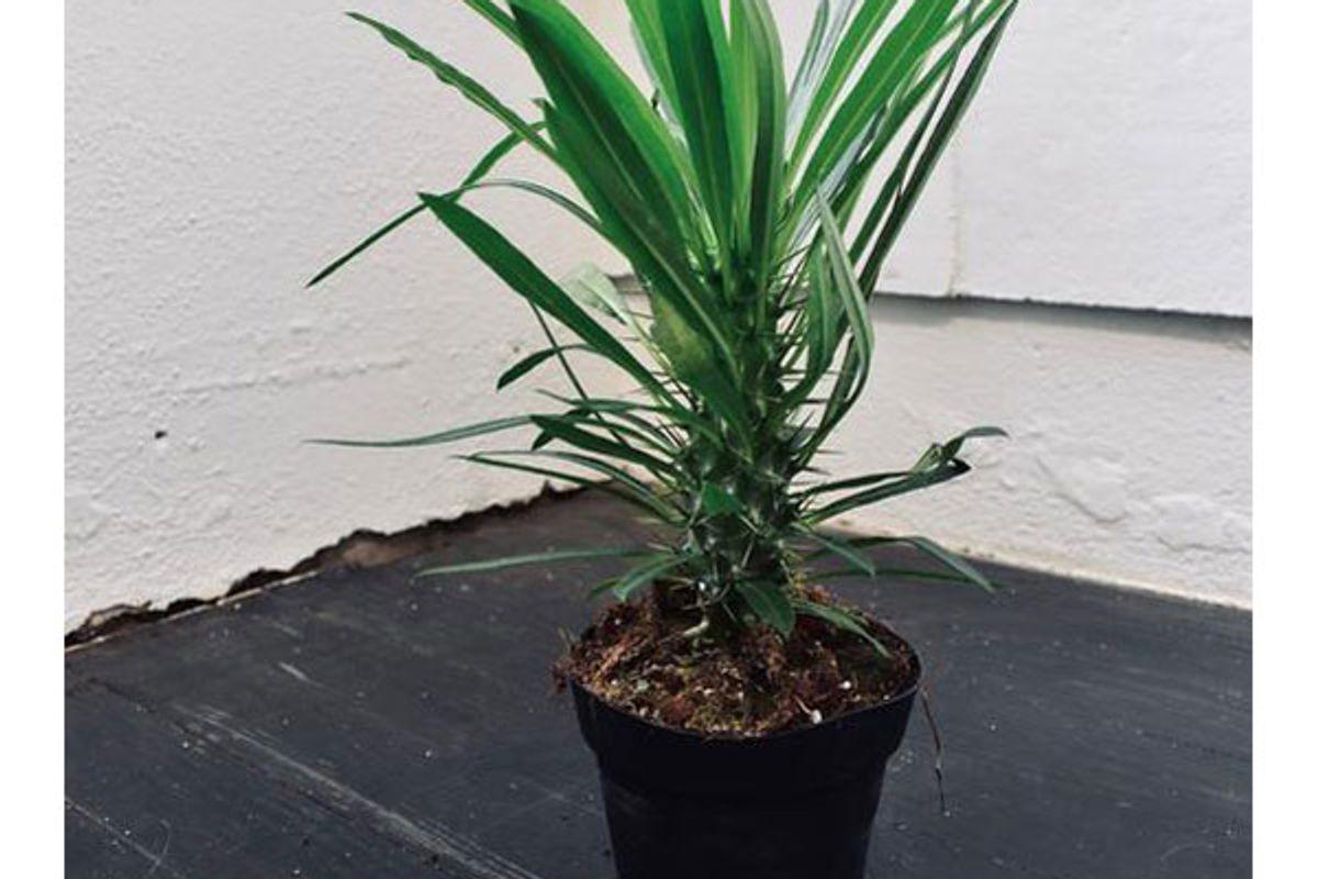 hey botany madagascar palm cactus