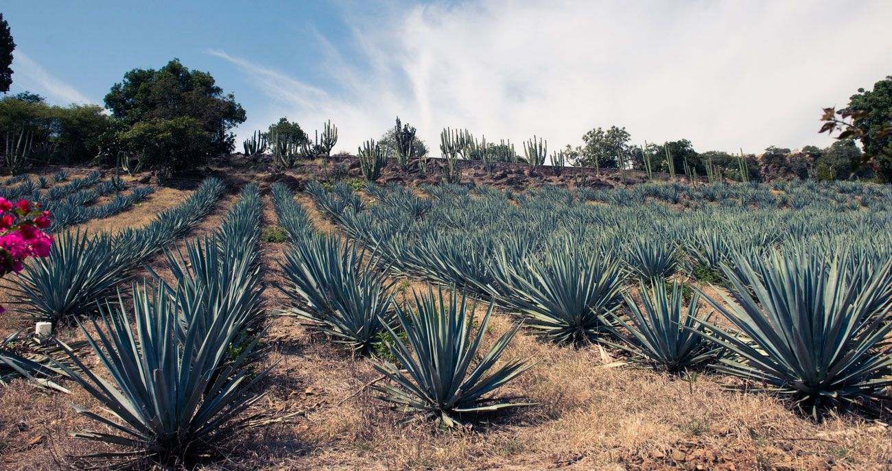Stop Everything: Turns Out Agave Is Not That Good For You